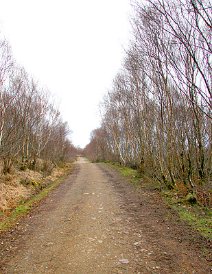Birch forest heralds the beginning of the walk proper