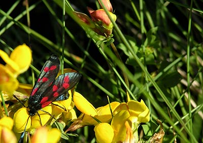 Burnet Moth and Gorse