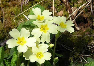 Flora plants and wild flowers in skye and lochalsh primroses in spring mightylinksfo